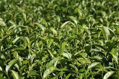 Oolong-Tee auf dem Gebiet, Tee, Tee Formosas Oolong, Stockfoto