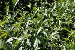 Oolong-Tee auf dem Gebiet, Tee, Tee Formosas Oolong, Stockbild