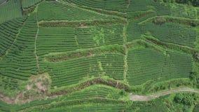 Oolong-Tee-Plantage in Alishan-Bereich, Taiwan Schattenbild des kauernden Gesch?ftsmannes stock video footage
