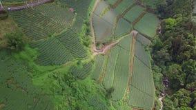 Oolong-Tee-Plantage in Alishan-Bereich, Taiwan Schattenbild des kauernden Gesch?ftsmannes stock footage