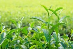 Oolong-Teeblätter, zwei Blätter und eine Knospe Stockbild
