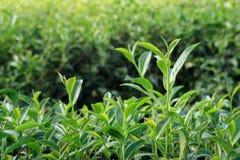 Oolong-Teeblätter, zwei Blätter und eine Knospe Stockbilder