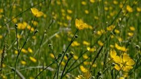 Oon Seitenansicht des niedrigen Winkels helle gelbe Butterblume blüht - Ranunculus bulbosus Lizenzfreie Stockbilder