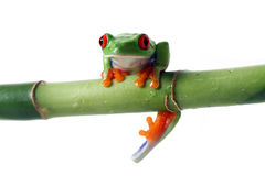 Oops. Red-Eyed Tree Frog slipping from Bamboo Royalty Free Stock Image