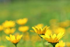Oops a daisy Royalty Free Stock Images