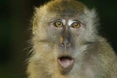 Oops del primate del Macaque Imágenes de archivo libres de regalías