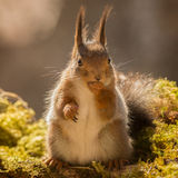 Oops did i say that. Close up of red squirrel standing on tree with moss holding one hand to the mouth Royalty Free Stock Photos