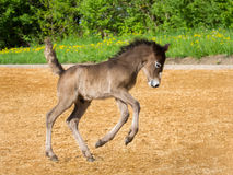 Oops Hopp. The foal hobble funny over the riding field Royalty Free Stock Photo