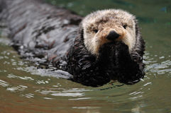Oops I did it again. Very cute arctic tundra sea otter covers its mouth as if it has done something wrong Stock Photography
