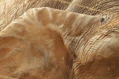 Oor van een olifantsclose-up royalty-vrije stock foto's