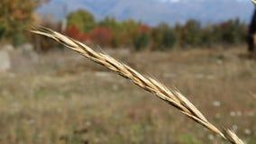 Oor van gras in de wind stock videobeelden