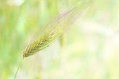 Oor van groene tarwe Royalty-vrije Stock Foto