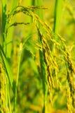 Oor van padie Stock Foto's
