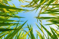 Oor van rijst en bladeren in de padievelden Royalty-vrije Stock Foto