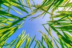 Oor van rijst en bladeren in de padievelden Stock Afbeeldingen