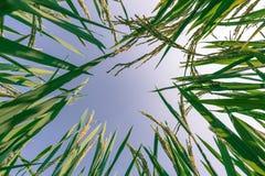Oor van rijst en bladeren in de padievelden Stock Fotografie