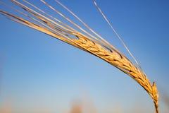 Oor van tarwe en de hemel Royalty-vrije Stock Afbeeldingen