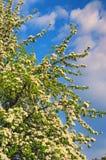 Oorbloesem in de vroege lente, mooie die boom met witte bloemen onder een bewolkte hemel wordt behandeld Royalty-vrije Stock Afbeelding