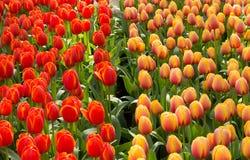 Oorlog van tulpen Stock Fotografie