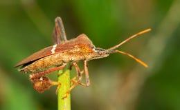 Oostelijk blad-betaald insect op een venkel royalty-vrije stock afbeeldingen