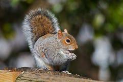 Oostelijk Gray Squirrel Eating Seed royalty-vrije stock afbeelding