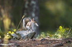 Oostelijk Gray Squirrel, Georgië, de V.S. stock foto's