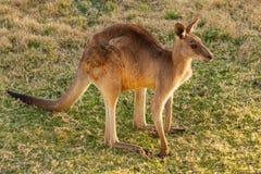 Oostelijk Grey Kangaroo in Australië royalty-vrije stock afbeelding