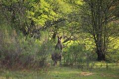 Oostelijk Grey Kangaroo in bushland stock afbeeldingen