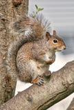 Oostelijk Grey Squirrel stock afbeeldingen
