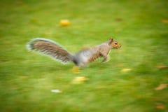Oostelijk Grey Squirrel stock foto