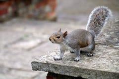 Oostelijk Grey Squirrel royalty-vrije stock afbeeldingen
