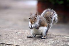 Oostelijk Grey Squirrel stock afbeelding