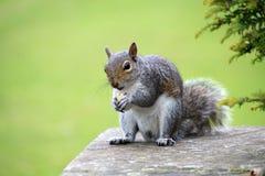 Oostelijk Grey Squirrel royalty-vrije stock foto