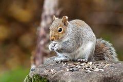 Oostelijk Grey Squirrel Eating (Sciurus Carolinensis) Stock Afbeelding