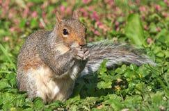 Oostelijk Grey Squirrel tegen Groene Achtergrond stock afbeelding