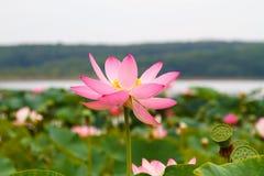 Oostelijk Lotus, Macroschot royalty-vrije stock foto's