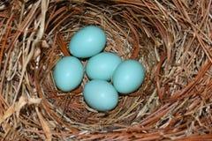 Oostelijk Sialia (Sialia-sialis) nest royalty-vrije stock afbeelding