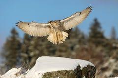 Oostelijk Siberisch Eagle Owl, Bubo-bubosibiricus, die op rots met sneeuw landen royalty-vrije stock fotografie