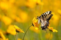 Oostelijk Tiger Swallowtail Royalty-vrije Stock Afbeeldingen