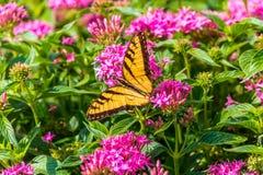 Oostelijk Tiger Swallowtail Butterfly royalty-vrije stock afbeelding