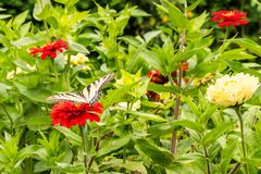 Oostelijk Tiger Swallowtail Butterfly in een `-Zonneschijnmengeling ` van Zinnias Stock Foto's
