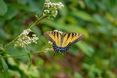 Oostelijk Tiger Swallowtail Feeding op Wit Bloeiend Bush stock afbeeldingen