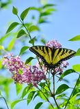 Oostelijk Tiger Swallowtail op roze lilac Hoog Park stock foto
