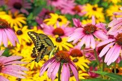 Oostelijk Tiger Swallowtail, Papilio-glaucus Stock Foto