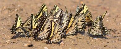 Oostelijk Tiger Swallowtails Gathering Minerals Stock Fotografie