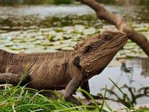 Oostelijk Water Dragon Posing Royalty-vrije Stock Afbeeldingen