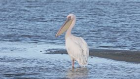 Oostelijk-witte pelikaan, Pelecanus-onocrotalus stock videobeelden