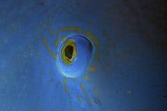 Oostelijke blauwe gruper (oog) Stock Fotografie