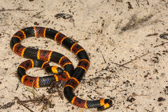 Oostelijke Coral Snake royalty-vrije stock fotografie