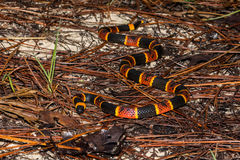 Oostelijke Coral Snake stock foto's